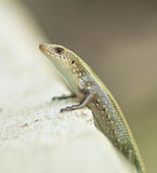 Speckled Forest Skink Stock Photo