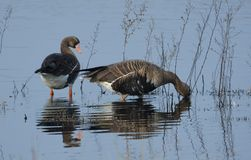 Speckled Geese Royalty Free Stock Images