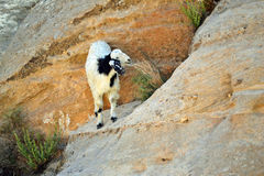 Speckled Goat Feeding. Goats grazing in the Middle East royalty free stock image