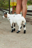 Speckled goat at zoo Stock Images