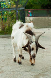 Speckled goat at zoo Royalty Free Stock Photo