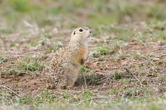 The speckled ground squirrel or spotted souslik Spermophilus suslicus. On the ground Royalty Free Stock Photo