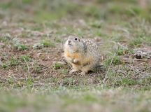 The speckled ground squirrel or spotted souslik Spermophilus suslicus on the ground. Royalty Free Stock Photos