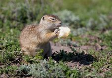 The speckled ground squirrel or spotted souslik Spermophilus suslicus on the ground eating Royalty Free Stock Photo