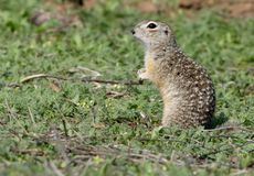 The speckled ground squirrel or spotted souslik Spermophilus suslicus on the ground. Royalty Free Stock Photo