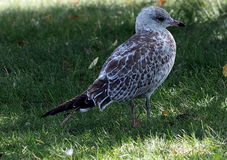 Speckled Gull Standing On Grass Stock Photography