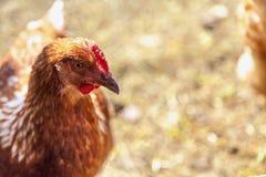 Speckled hen on blurred background Stock Image