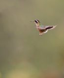 Speckled Hummingbird in flight Royalty Free Stock Photography