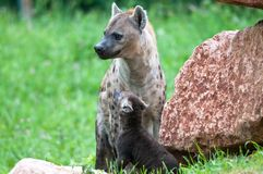 Speckled hyena with puppy Royalty Free Stock Photo