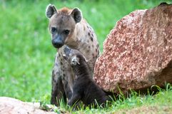 Speckled hyena with puppy Stock Photos