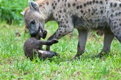 Speckled hyena with puppy Stock Images