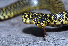 Speckled Kingsnake Royalty Free Stock Photo