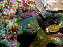 Speckled Moray eel Stock Image