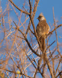 A Speckled Mousebird Royalty Free Stock Image