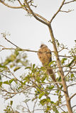 Speckled Mousebird Stock Image