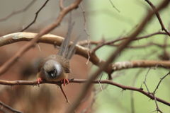 Speckled mousebird Royalty Free Stock Images