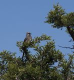 Speckled Mousebird, with blue sky royalty free stock photo