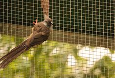Speckled mousebird called Colius striatus. Is found in Ghana, Ethiopia and Tanzania Stock Images