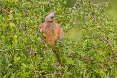 Speckled mousebird (colius striatus). At Addo Elephant Park in South Africa Royalty Free Stock Photos