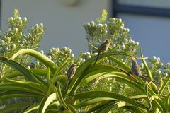 Speckled Mousebird, Colius striatus, with Cape Sugar Bird, sitting on Aloe vera plant. With blue sky in background, South Africa Royalty Free Stock Photography
