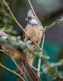 Speckled Mousebird Royalty Free Stock Image