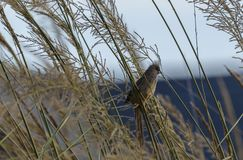 Speckled Mousebird, Colius striatus, perched on ornamental grasses. With blue sky in background, South Africa Stock Photos