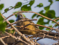 Speckled Mousebird Colius - striatus Stock Photo