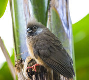Speckled Mousebird Colius - striatus Stock Image