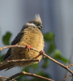 Speckled Mousebird Colius - striatus Royalty Free Stock Photography