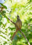 Speckled Mousebird. A Speckled Mousebird Colius striatus perching on a branch in the african wilderness Royalty Free Stock Photography