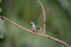 Speckled mousebird, Colius striatus Royalty Free Stock Photos