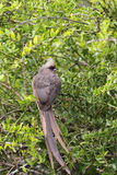 Speckled Mousebird (Colius striatus) Stock Photography