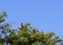 Speckled Mousebird, Colius striatus. Sitting on green tree, with blue sky in background, South Africa Royalty Free Stock Images
