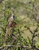 A speckled mousebird, Colius striatus stock photos