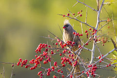 Speckled Mousebird Stock Images