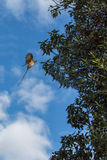Speckled Mousebird in flight Stock Photography
