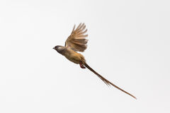 Speckled Mousebird in flight Royalty Free Stock Photography
