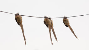 Speckled Mousebird hanging on wire Royalty Free Stock Photography