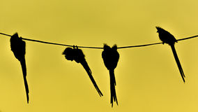 Speckled Mousebird hanging on wire Royalty Free Stock Photos