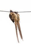 Speckled Mousebird hanging on wire Stock Image