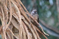 Speckled mousebird Royalty Free Stock Photography