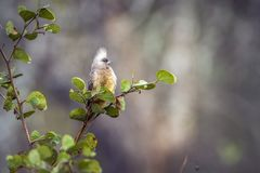 Speckled Mousebird in Kruger National park, South Africa stock photos