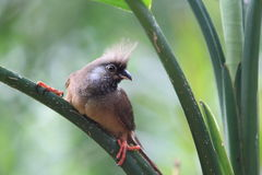 Speckled mousebird. The speckled mousebird on the leaf Royalty Free Stock Images