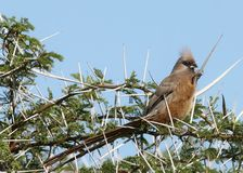 Speckled Mousebird. Perched in a thorn tree against a blue sky Royalty Free Stock Photos