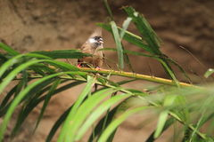Speckled mousebird Royalty Free Stock Photo