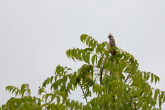 Speckled  Mousebird on top of tree Stock Image
