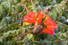 Speckled mousebirds, bird with long tail on orange flowers of African Tulip tree inTanzania, Africa stock images