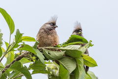 Speckled Mousebirds Stock Image
