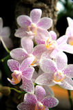 Speckled orchid Stock Images