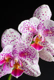 Speckled Phalaenopsis Orchid Stock Images